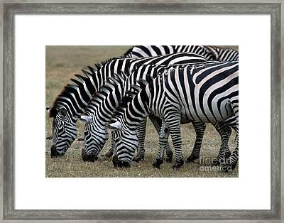 Common Zebras Grazing Framed Print
