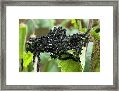 Communal Basking Of Butterfly Larvae Framed Print by Dr Jeremy Burgess