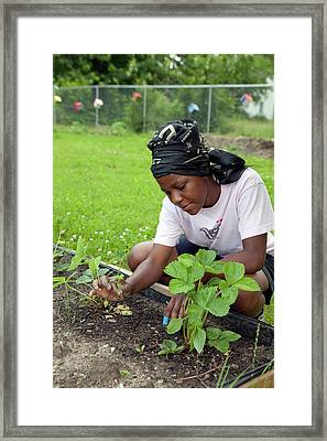Community Garden Volunteer Weeding Framed Print by Jim West