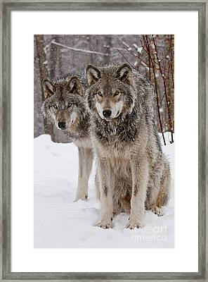 Companions Framed Print by Wolves Only