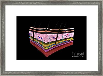 Conceptual Image Of The Layers Of Human Framed Print by Stocktrek Images