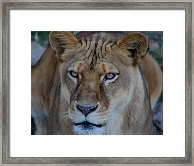 Concerned Lioness Framed Print
