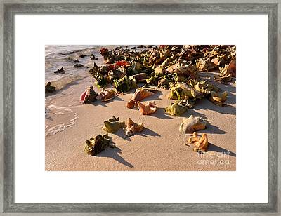 Conch Collection Framed Print by Jola Martysz