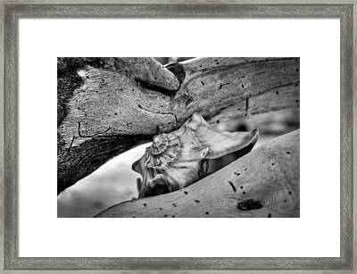 Conch Shell One Framed Print