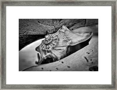 Conch Shell Two Framed Print