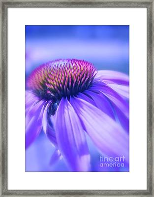 Cone Flower In Pastels  Framed Print