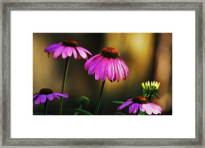 Cone Flower Shines... Framed Print