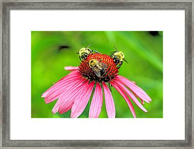 Cone Flower With Three Bees Framed Print