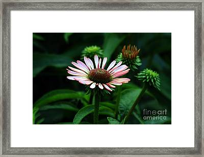 Framed Print featuring the photograph Coneflower 2014 by Marjorie Imbeau
