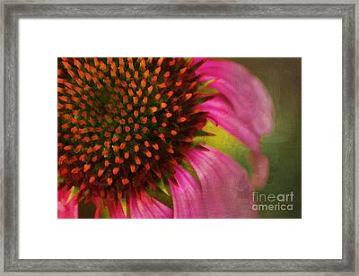 Coneflower Framed Print by Darren Fisher