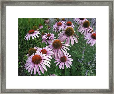 Coneflower Framed Print by Jill Bell