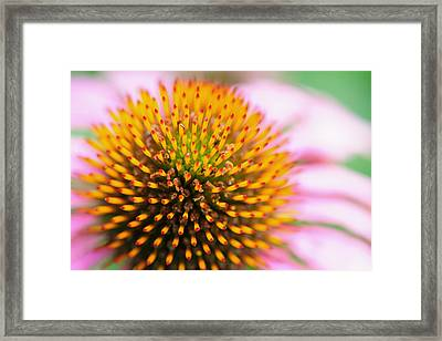 Coneflower Framed Print by John Kiss
