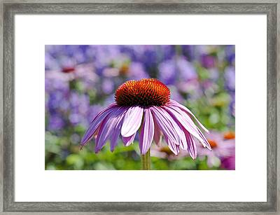 Framed Print featuring the photograph Coneflower by Lana Enderle