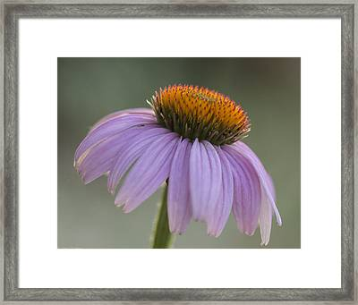 Coneflower Framed Print by Laura Buchanan