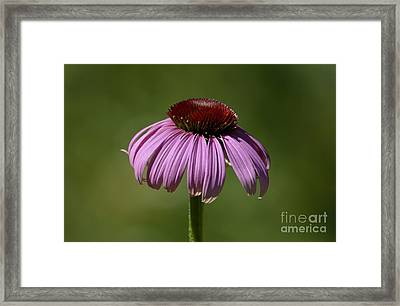 Framed Print featuring the photograph Coneflower by Randy Bodkins
