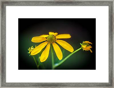 Coneflowers Echinacea Yellow Painted    Framed Print by Rich Franco