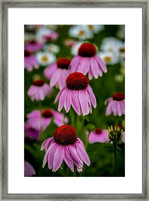 Coneflowers In Front Of Daisies Framed Print