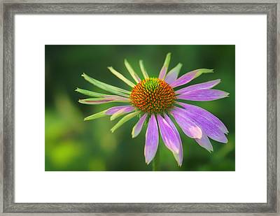 Conflicted - Identity Crisis - Coneflower Framed Print