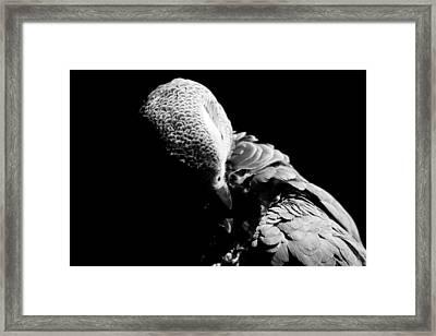 Congo  African Grey 5 Framed Print by Paulina Szajek