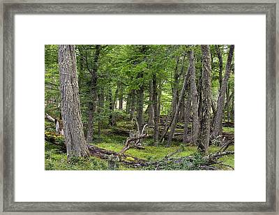 Conifer Forest In The Martial Mountains Framed Print by Ashley Cooper