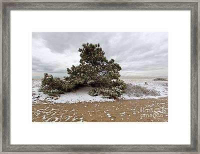 Conifer On A Snowy Cape Cod Beach Framed Print by Michelle Wiarda