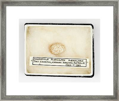 Conopophila Albogularis Egg Framed Print by Natural History Museum, London