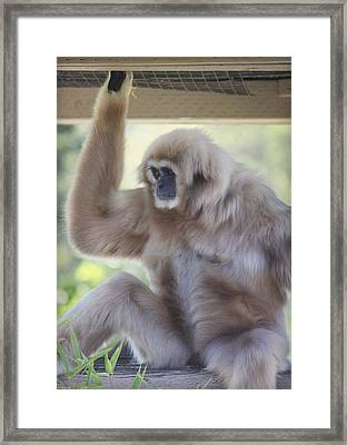 Contemplating Gibbon Framed Print by Melanie Lankford Photography