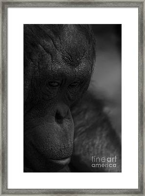 Contemplating Orangutan Framed Print