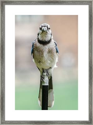 Contemplative Blue Jay Framed Print