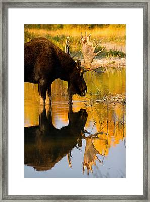 Framed Print featuring the photograph Contemplative Moose by Aaron Whittemore