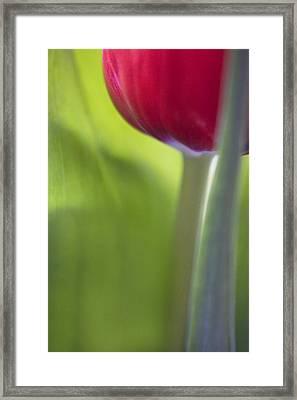 Contemporary Tulip Close Up Framed Print by Natalie Kinnear
