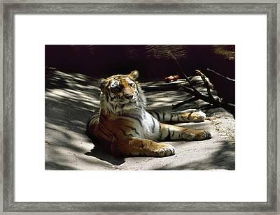 Content Tiger Framed Print