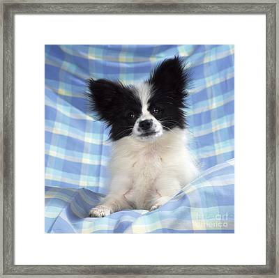 Continetal Toy Spaniel Or Papillon Dog Framed Print by John Daniels