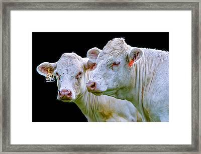 Contrast Cows Framed Print by Brian Stevens