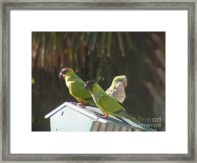Conure Parrots And Quaker Parrot Share A Feeder Framed Print