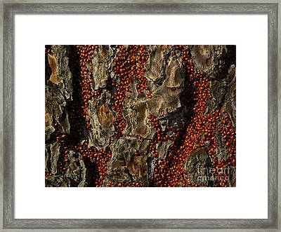 Convergent Lady Beetles Framed Print by Ron Sanford