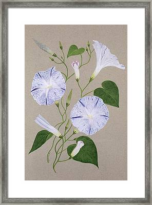 Convolvulus Cneorum Framed Print by Frances Buckland