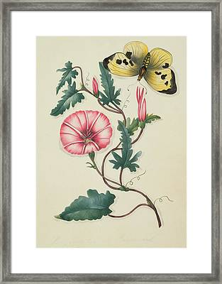 Convolvulus With Yellow Butterfly Framed Print by English School