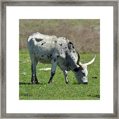 Cookies And Cream Longhorn Framed Print