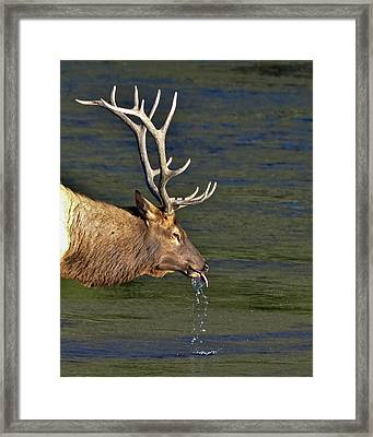 Cool Bull Elk Framed Print