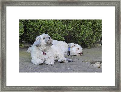Framed Print featuring the photograph Havanese Dog Sisters B by Laurie Tsemak