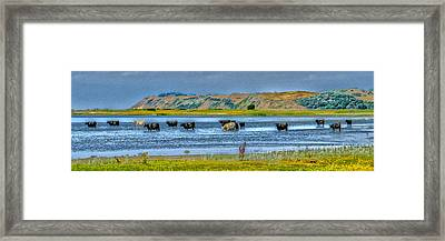 Cool Cows Framed Print by Kim Lessel