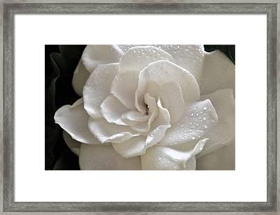 Cool Gardenia Framed Print