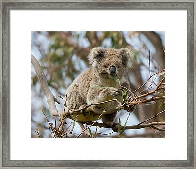 Cool Koala Framed Print by Phil Stone