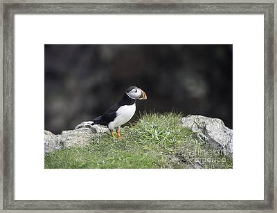 Cool Puffin Framed Print by Jim  Hatch