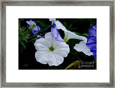 Cool Summer Petunias Framed Print by Wilma  Birdwell