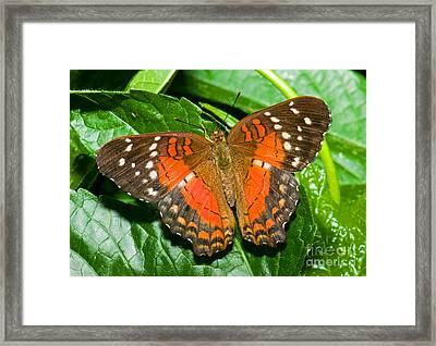 Coolie Butterfly Framed Print