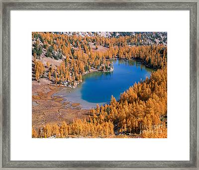 Cooney Lake Larches Framed Print by Tracy Knauer