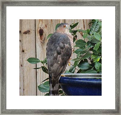Coopers Hawk 1 Framed Print