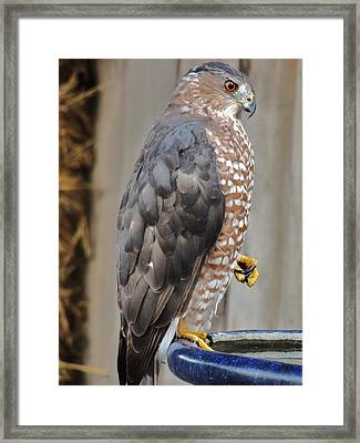 Coopers Hawk 2 Framed Print by Helen Carson